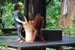 Krmení orangutanů v záchranné stanici.